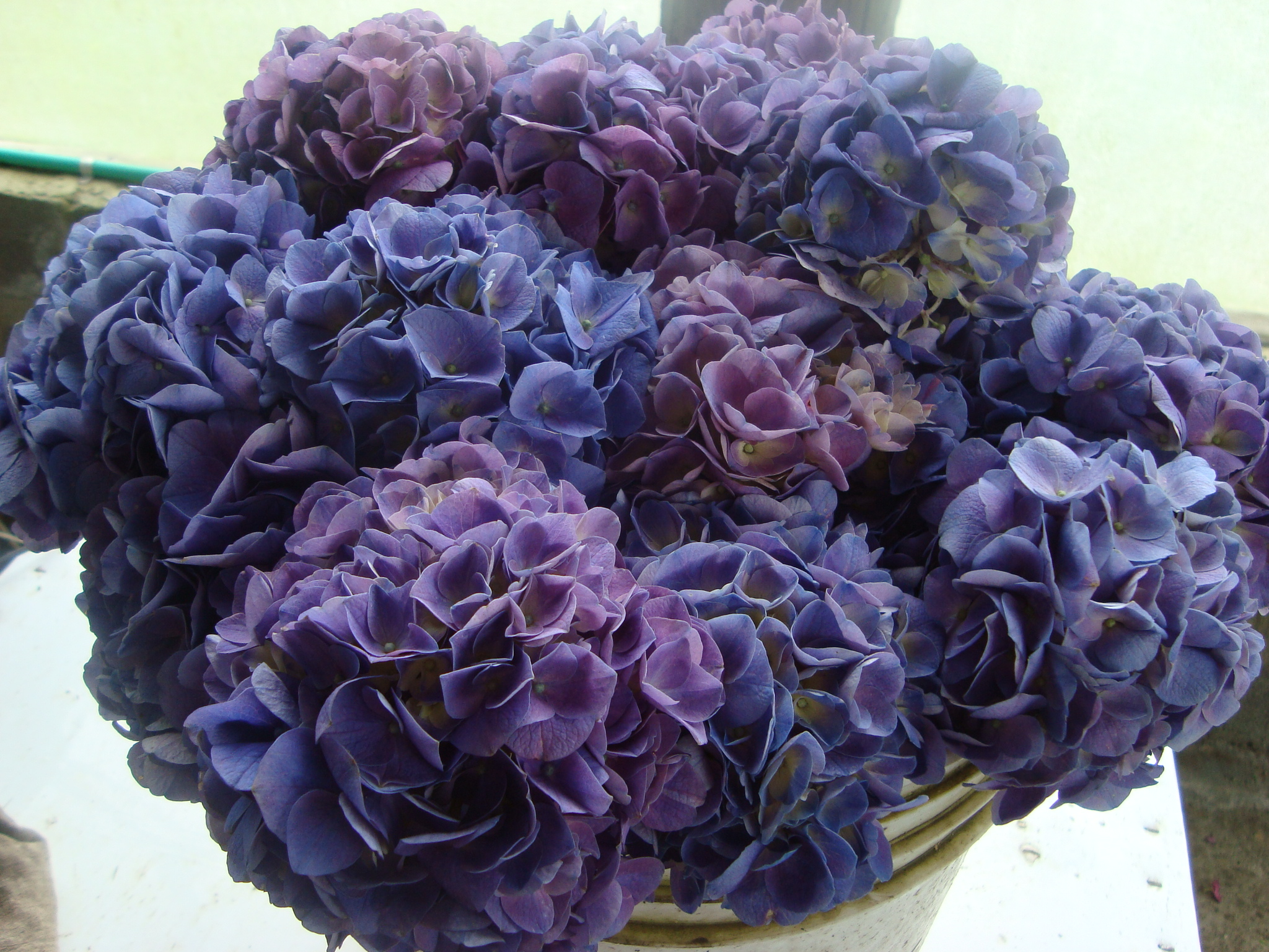 First come flowers how to white and blue hydrangeas are the colors you traditionally see in flower shops but if you look in gardens youll see pinks dhlflorist Gallery