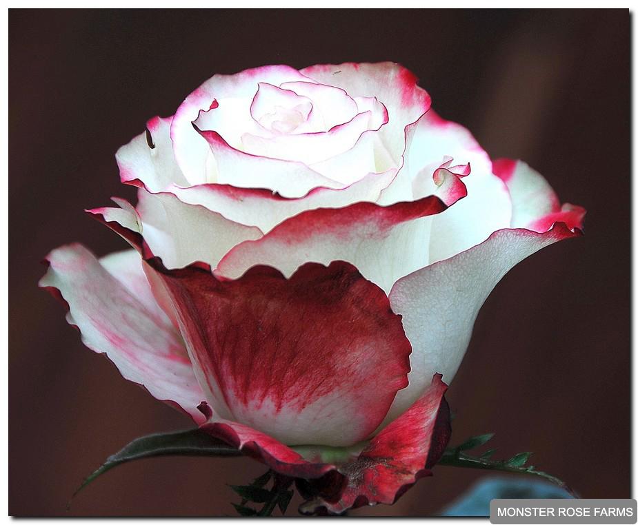 фото роза свитнесс