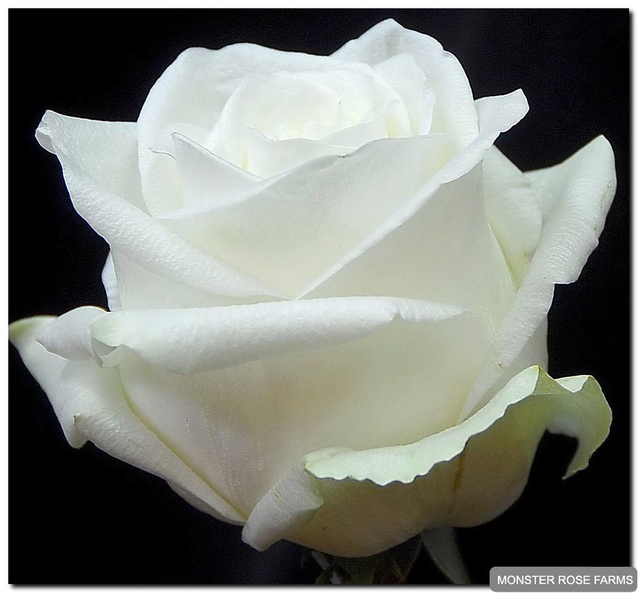 White Roses Monster Rose Farm